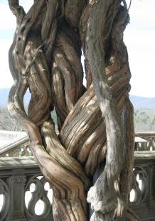 Tree at Biltmore