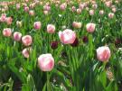 Tulips 2016 Biltmore